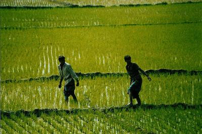 Two people walking through a rice field